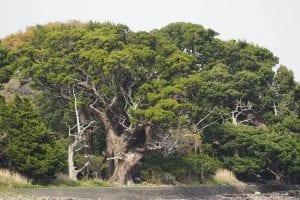 El Juniperus chinensis es una conífera imponente