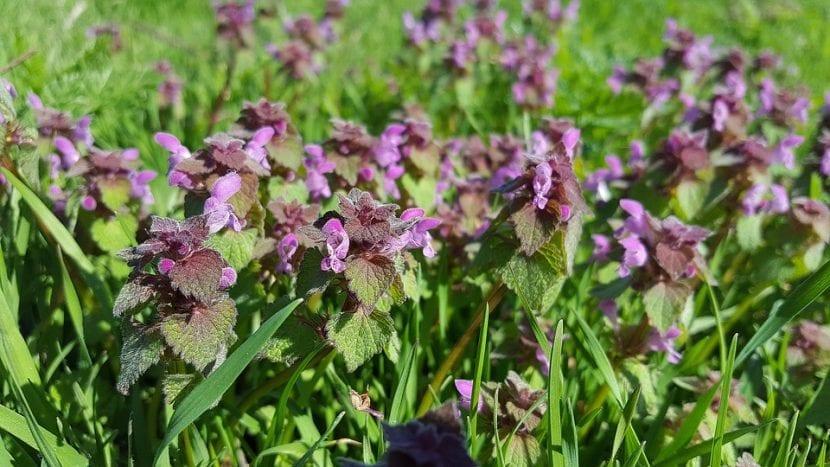 Vista de las flores del Lamium purpureum