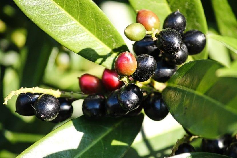 Los frutos del Prunus laurocerassus son similares a las cerezas
