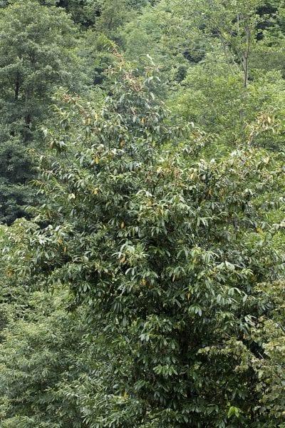 El laurel real es un arbusto o arbolito de hasta 6 metros