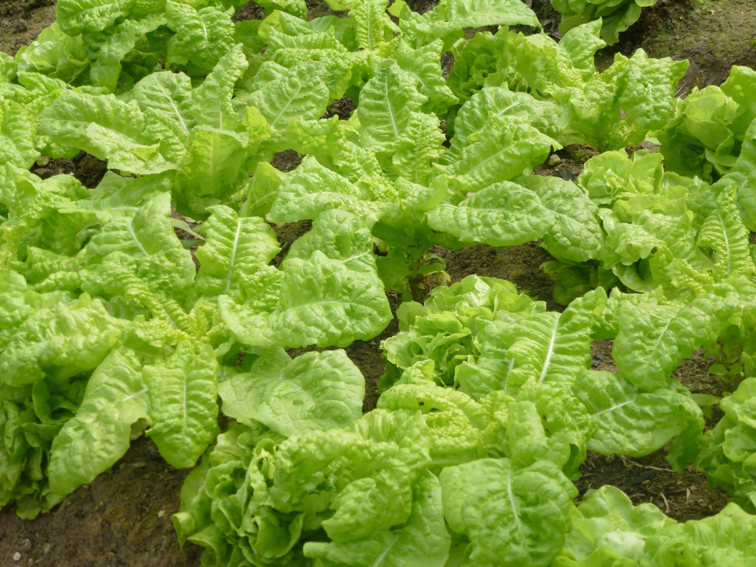 La lechuga romana es una planta muy popular