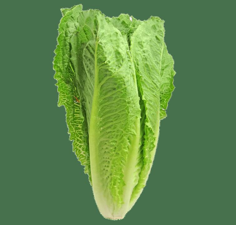La lechuga romana es una hortícula de fácil cultivo
