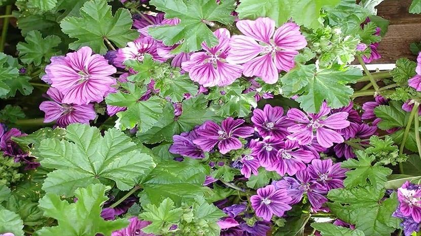 maceta llena de flores moradas de la planta Malva sylvestris