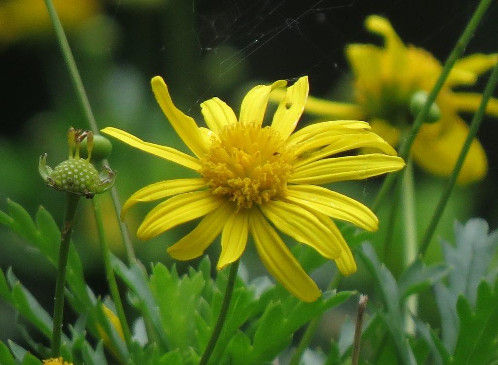 Vista del Euryops en flor