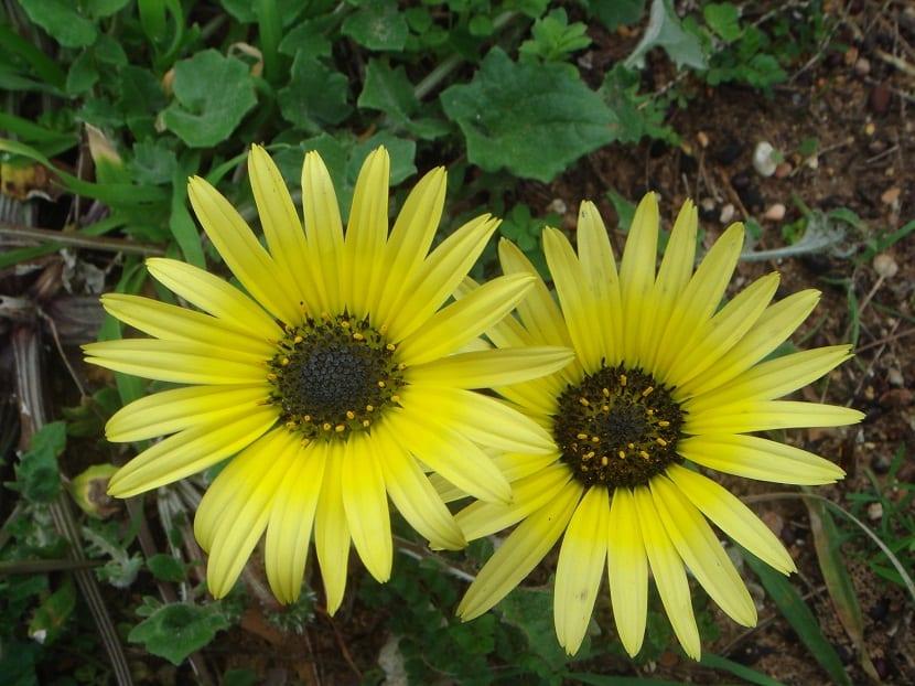margaritas amarillas con grandes petalos