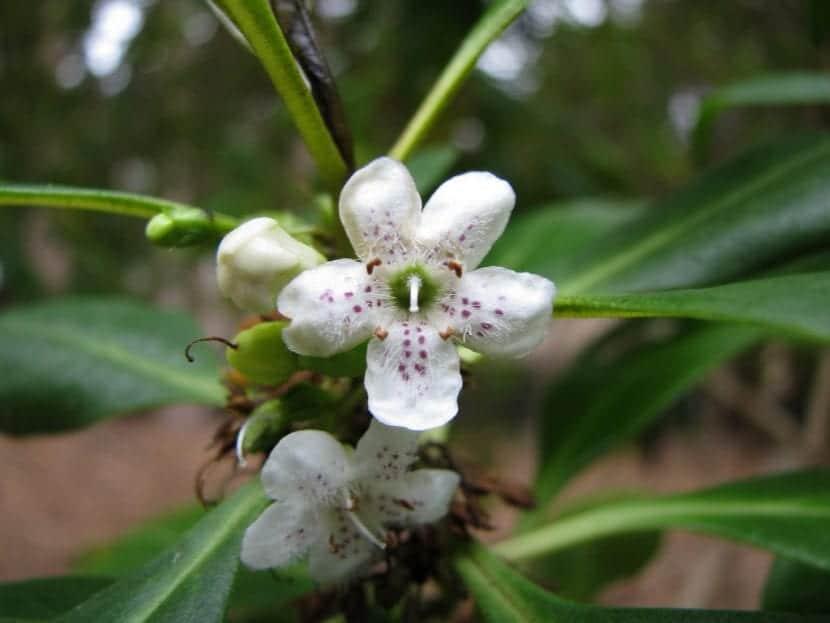 La flor del Myoporum laetum es blanca