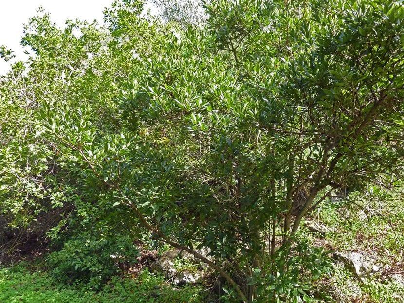 Vista del arbusto Myrica faya