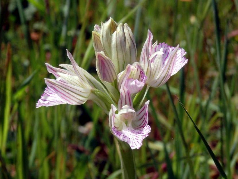 Flor de Orchis papilionacea