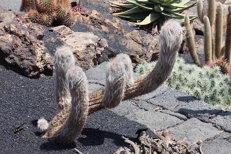 Orocereus celsianus en jardín