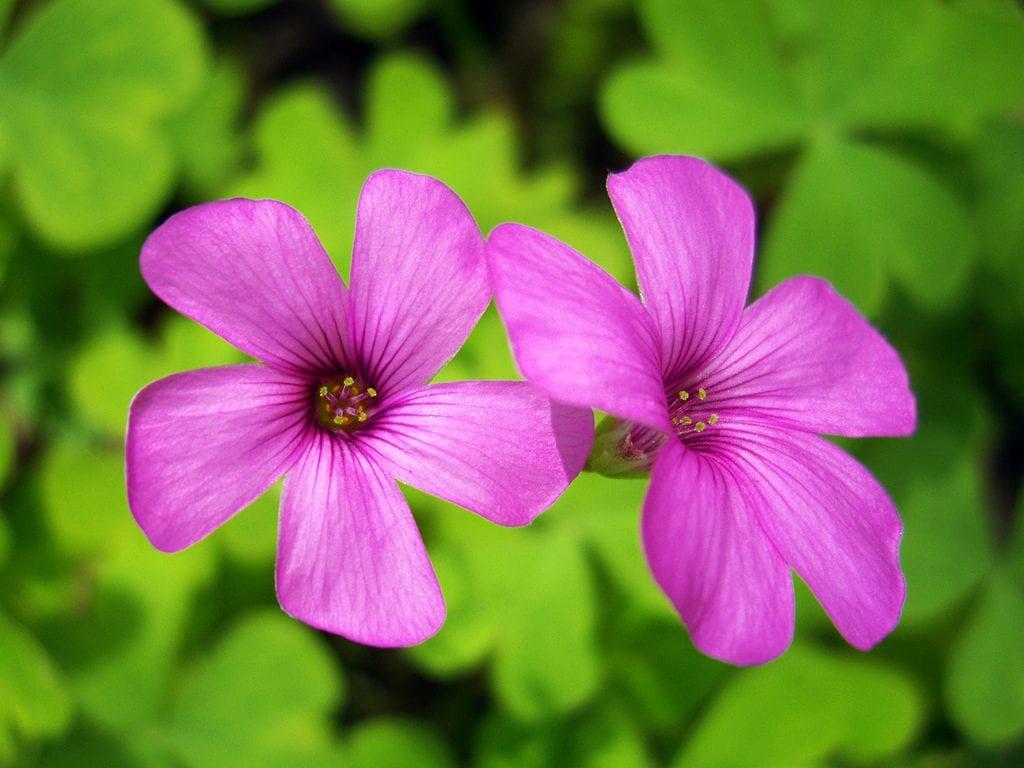 Flores de Oxalis articulata