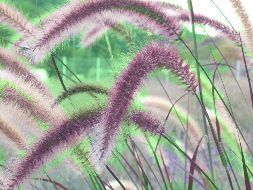 Las flores del Pennisetum son espigas