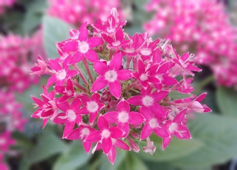 Las flores de la Pentas lanceolata son muy decorativas