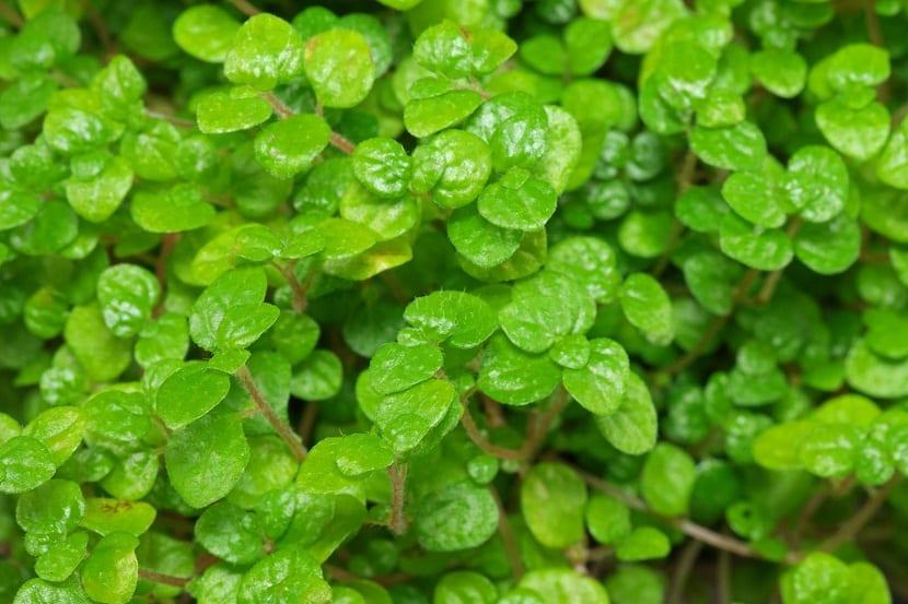 pequeñas hojas verdes