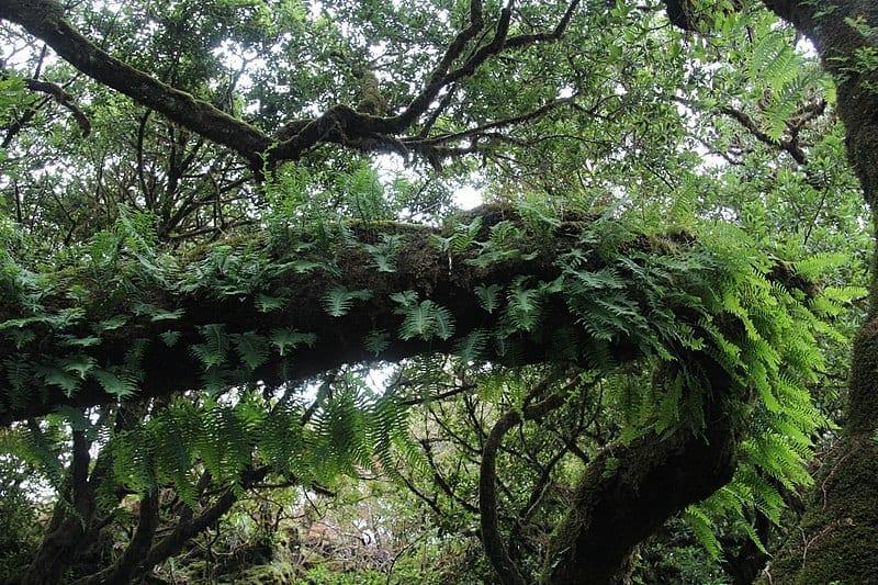 La laurisilva es un tipo de bosque subtropical
