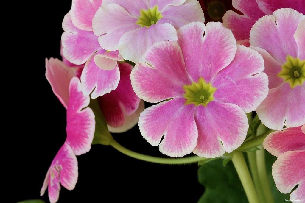 La Primula obconica produce flores de varios colores distintos