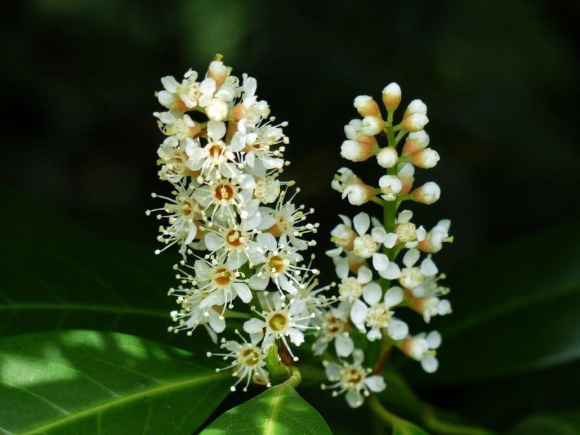 Las flores del Prunus laurocerassus son blancas