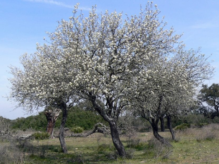 Pyrus bourgaeana