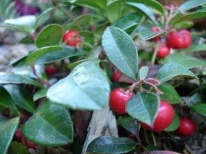 ramas de la planta llamada Gaultheria procumbens con frutos de color rojo
