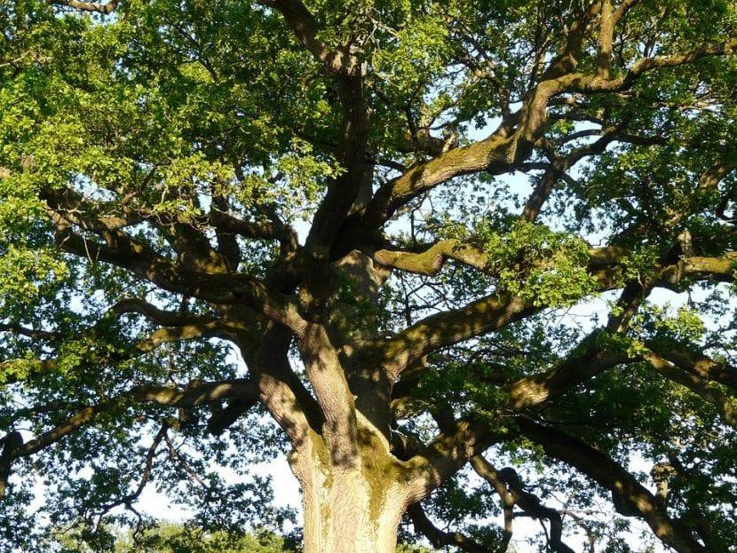 El tronco y las hojas del roble son muy decorativos