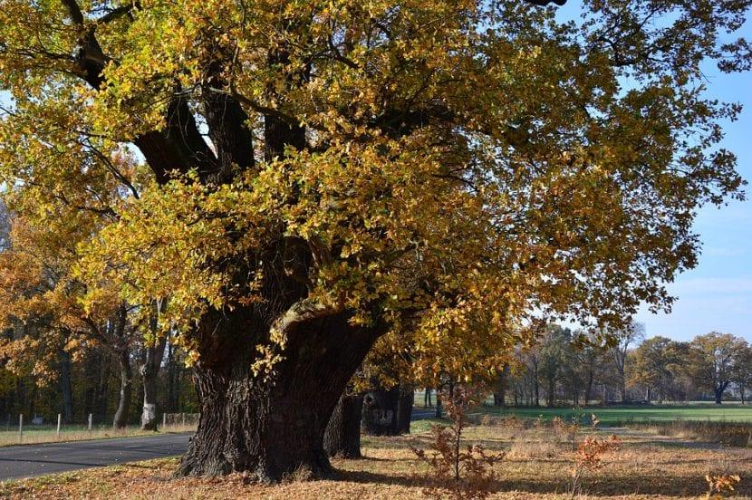 El roble es un árbol de hoja caduca que se pone precioso en otoño