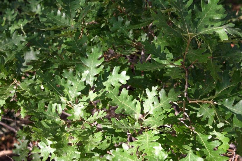 Las hojas del roble son verdes en primavera y verano