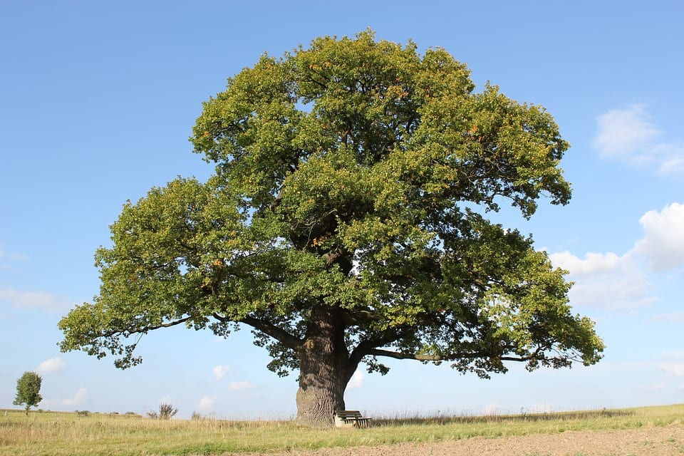 El roble es un árbol grande