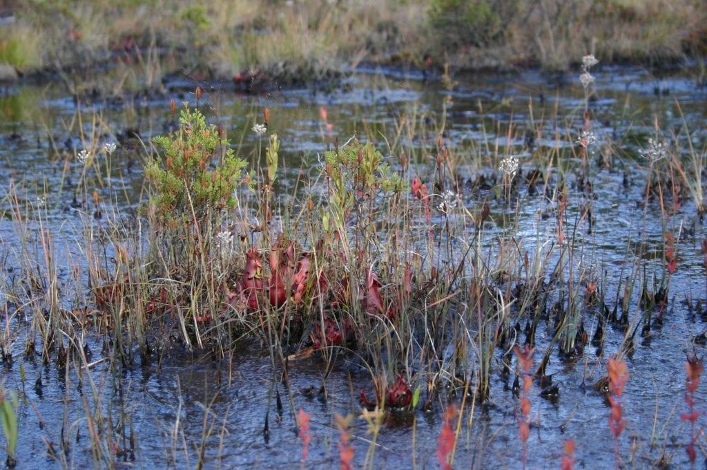 Vista de la Sarracenia purpurea en hábitat