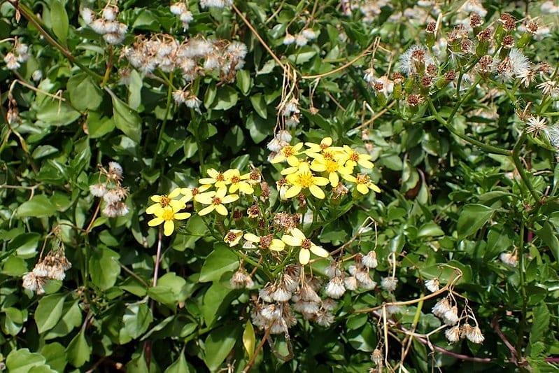 Planta de Senecio angulatus en hábitat