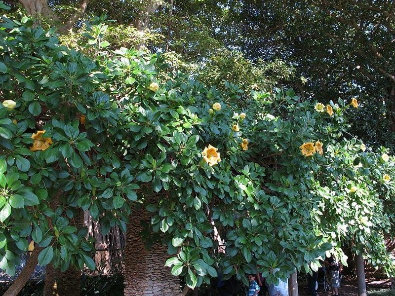 Planta de Solandra maxima