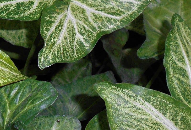 El Syngonium podophyllum es una planta muy decorativa