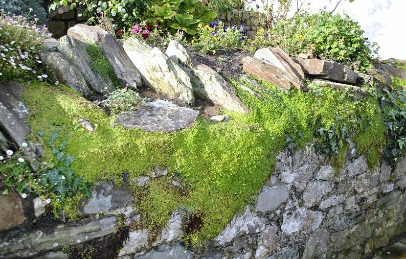 tipo de musgo cubriendo las piedras