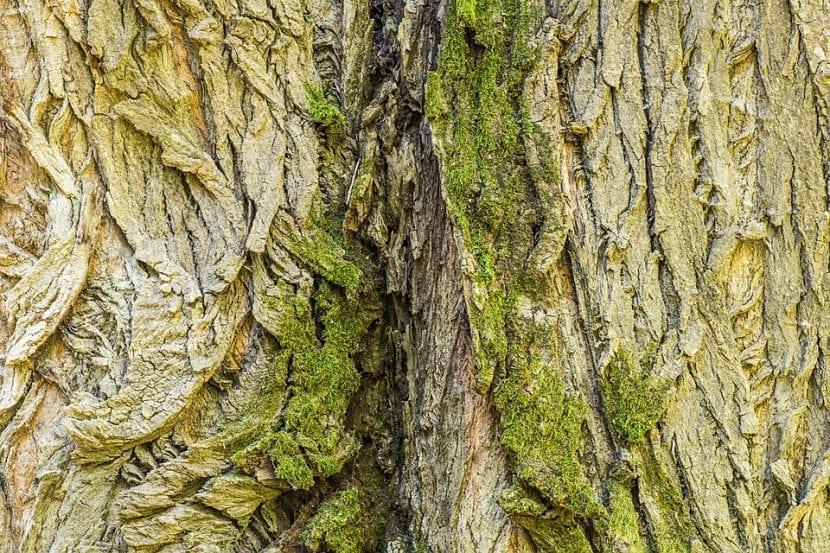 El tronco del Populus nigra se agrieta con la edad
