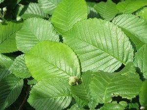 Las hojas del Ulmus minor son caducas