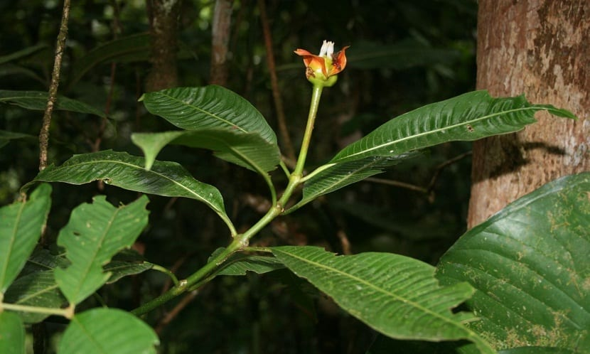 una flor roja llamada Psychotria Elata