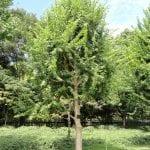 Vista del Acer buergerianum, un tipo de arce