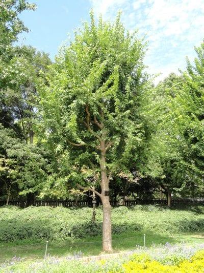 Vista del Acer buergerianum