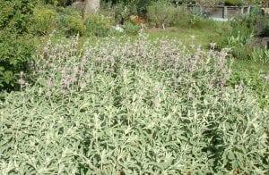 Arbusto completo de phlomis purpurea