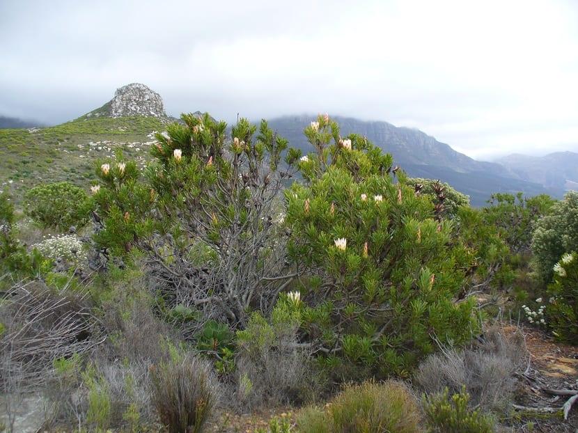 Arbustos completos de Protea