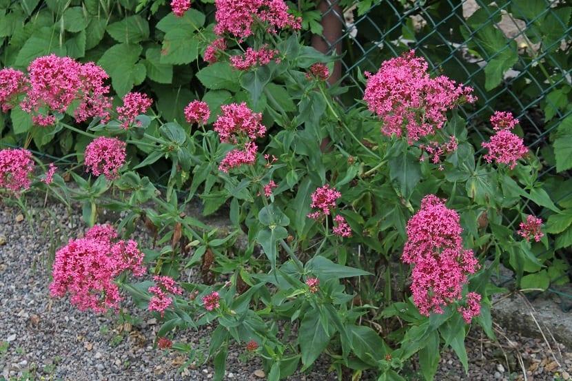 Centranthus ruber para alambradas