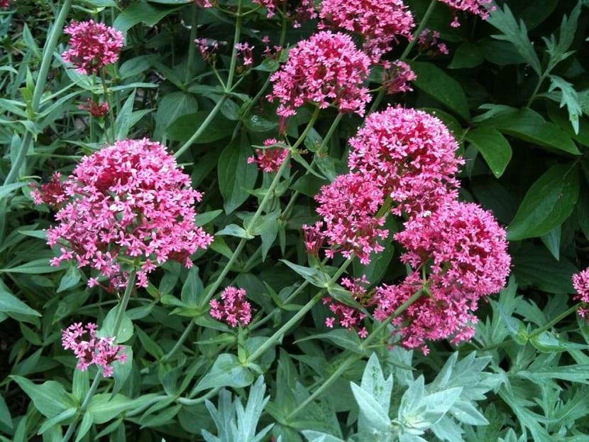 Centranthus ruber y sus flores