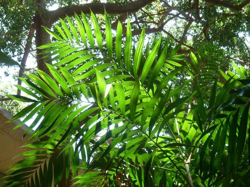 La Chamaedorea elegans es una palmera