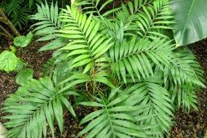 La palmera de Chamaedorea elegans es pequeña