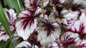 Colores de las hojas de la Begonia rex