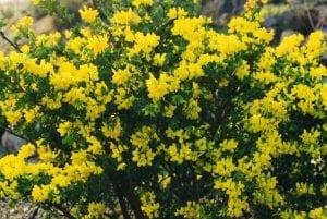 Vista de las flores de la Coronilla glauca