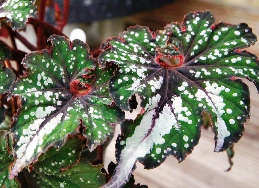 Cuidados de la Begonia rex