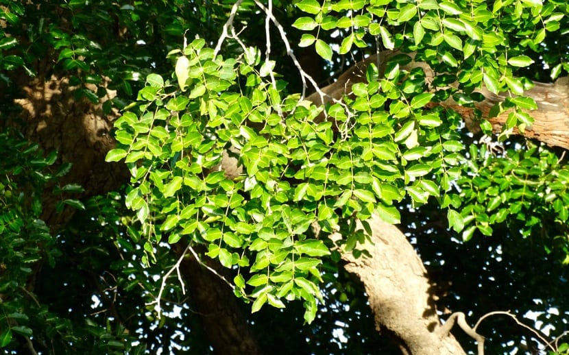 Cultivo de Sclerocarya birrea
