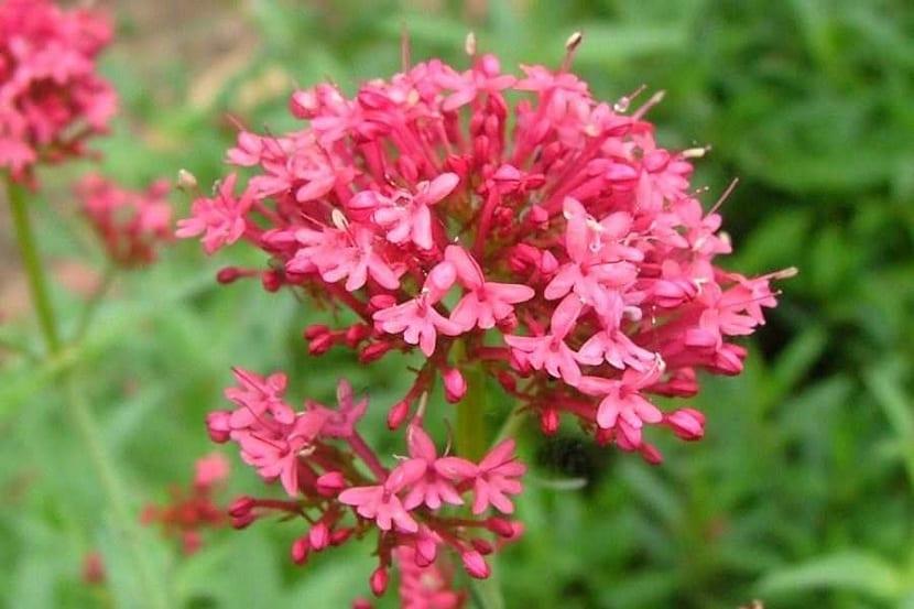 Detalle de las flores de la valeriana roja
