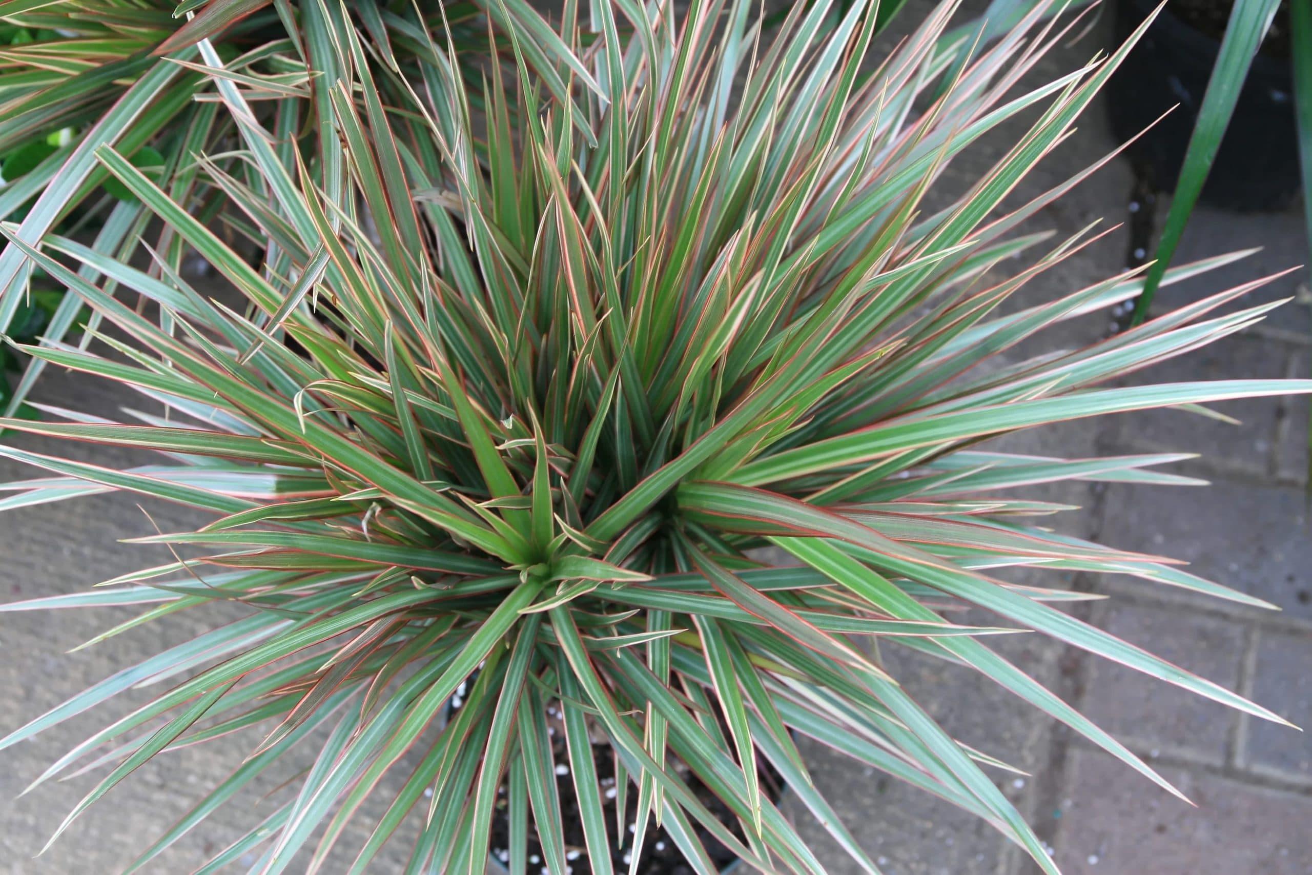 Las hojas de la Dracaena marginata son de dos colores