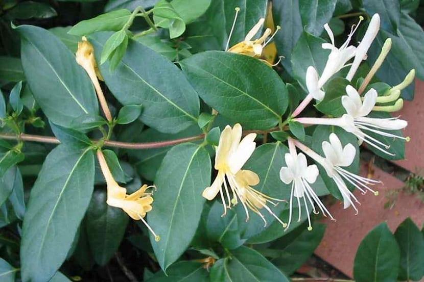 Flores de la Lonicera japonica