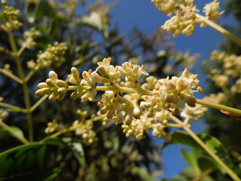 Flores del Ligustrum japonicum